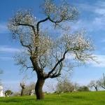 şarkıcı ağaç